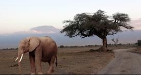 Mt. Kilimanjaro And Elephant