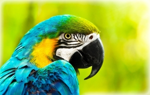 African macaw parrot,