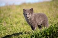 Arctic Fox Cub, Vulpes Lagop
