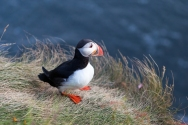 Puffin On The Cliff In Vic, Southern Iceland