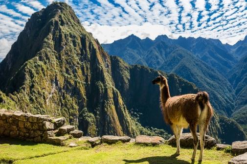 Llama at Machu Picchu, Incas ruins in the peruvian Andes at Cuzco Peru