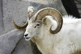 Dall Sheep, AK