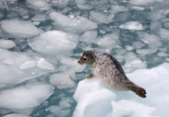 Harbor Seal on an ice floe in Prince William Sound, Alaska.